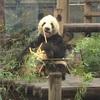 上野動物園 21回目 シャンシャン3回目