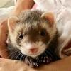 マーシャル・フェレットを飼い始めました。愛太郎です。