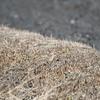 枯草色のホオアカ