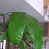 庭いじりの贅沢:パキラの新芽、タブノキ、月桂樹が「犬のマユくん」を魅惑する事