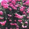 バラ栽培講座(11) 7月~8月(真夏)の時期のお世話 水やり、ハダニ