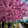 木場公園脇の河津桜