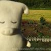 台風18号が去って…強風で稲が倒れた後の田んぼの様子