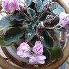 10年以上咲いているセントポーリア 少し元気がなくなってきた。
