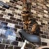 【猫ライフ】TORIの猫遍歴&ブロガーバトン
