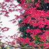 鎌倉海蔵寺へ.山門をくぐる前から,沢山の花々が,そしてモミジが迎えてくれます.ドウダンツツジの白い花は可憐.4月に入ったばかりなのに,今真っ盛りなのがツツジ.そして,目を見張る白花のシャクナゲ.新芽の赤いノムラモミジ(多分)の,とりわけ艶やかな赤い葉をまとった一本.それは見事なものでした.
