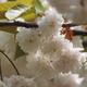 「気多の白菊桜」写真を撮りました(笑)