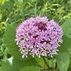 8月 夏の花散歩 : 関東8月に咲く花(ボタンクサギ / サルビア / タカサゴユリ/ サルスベリ)