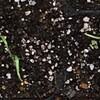散水。発芽。フェンネル育苗のメモ。