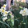 我が家の庭でも,冬の花たち季節を知らせてくれています.代表選手は雪中の四花(雪中四友)の一つスイセン.庭の至る所で咲いています.スイセンの別名は雪中花(華).室町時代にはこの名が和名とされ,水仙(水仙華)は中国名.そして,この中国名水仙は,ギリシャ神話ナルキッソスの物語の影響を受けた可能性があります.
