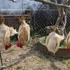 【閲覧注意】初めて鶏をしめた話と猪の丸焼き
