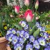 チューリップ 🌷 が咲き始めました !!