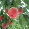 Benoit特選食材「岐阜県亀山果樹園さんの≪白鳳≫」と「桃プラン」のご案内です。
