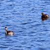 湖面に浮かぶカイツブリとハジロカイツブリ