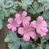 夏越し再挑戦のワーグラーベ ピンク