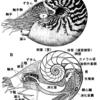 現生オウムガイ類は生きた化石ではない。