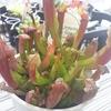 意外と初心者向け? 筒がいっぱい食虫植物サラセニアの栽培方法