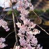 「慶恩寺」枝垂れ桜(後編)