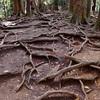 牛若丸が修行した木の根道。