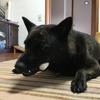 甲斐犬サン……ヤサグレるの巻( *`ω´)