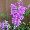 ハナトラノオの花
