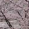 入学式に桜。新品制服に雨対策もしなきゃ。