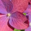 妙楽寺の紫陽花を見てきた