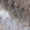 農業用水路にいた鳥オオバン
