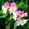「パーシーワイズマン」・石楠花が見頃に…。