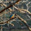 新年初撮りは野川公園でカワセミを探して野鳥散歩