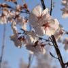 今年の桜は今までとちょっと違う
