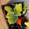 時間との勝負⁉︎ 8月に播種したきゅうりは収穫することができるか?