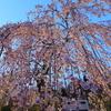 宇治市植物公園「夜桜ライトアップ」(入園無料駐車場も)