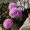 ミセバヤ Hylotelephium sieboldii