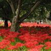 真赤な絨毯 ~彼岸花~