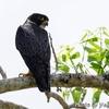 かわいい猛禽 Bat Falcon (バット ファルコン)