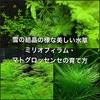 雪の結晶の様な美しい水草ミリオフィラム・マトグロッセンセの育て方