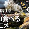 1229【ネコ食べるカモメ】鳥の糞で植物の種が拡散。カルガモ交尾失敗、ヒドリガモ鳴き声、スズメ、ピラカンサがムクドリに食べられる、腐肉食スカベンジャー【 #今日撮り野鳥動画まとめ 】 #身近な生き物語 鶴見川水系恩田川の野鳥達