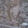 桜満開からの、格闘技再開。