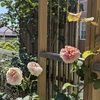 久しぶりの開花と定期的な開花