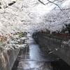 目黒川の桜2021