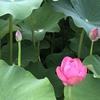 蓮の花を楽しめた。