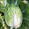 野菜づくり二年生 64 〜白菜収穫!