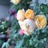 ロアルドダール 2019春 一年目 初開花