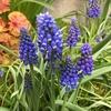 さらに迫力を増した2年目のムスカリが咲き並ぶ!
