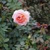 秋バラと庭の花