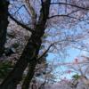 2020年の秋田市。桜の開花予想とおすすめスポットまとめ