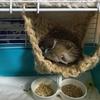 お寝坊スズメとクチバシ掃除(動画2本)