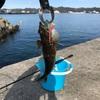 アナハゼ  鴨川漁港 DAISO アジ・メバル用ワーム バーサタイルスティック プロトラスト  アナハゼを食べてみた エメラルドグリーンの刺身