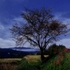 星景サルベージその98 華と樹